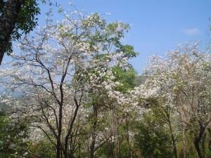 งานเทศกาลดอกเสี้ยวบานบนภูชี้ฟ้า