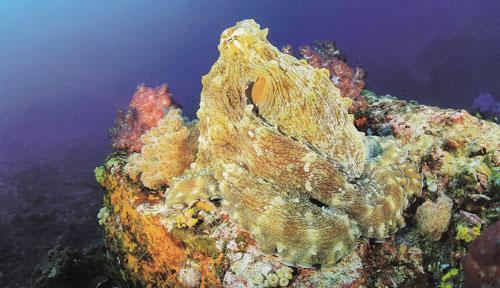 หมึกยัก หรือหมึกลาย เกาะนิ่งพรางตัวอยู่บนโขดปะการัง