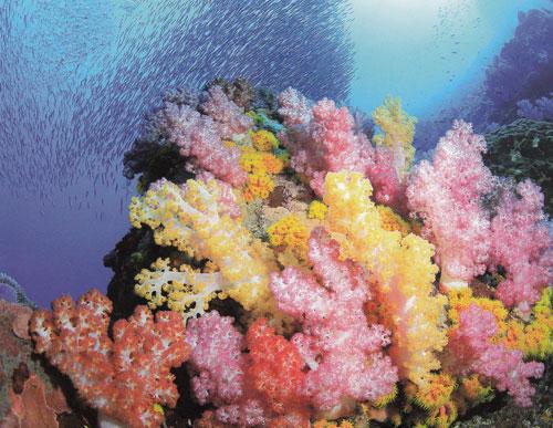 สีสันอันหลากหลายของหมู่ปะการังอ่อนที่เกาะแบล็กร็อก