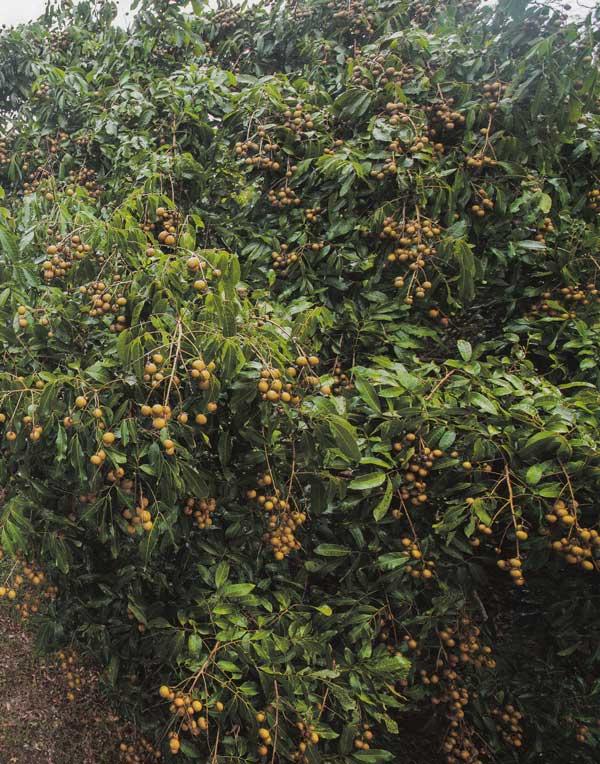 จันทบุรี ทางคนกลางสวนผลไม้