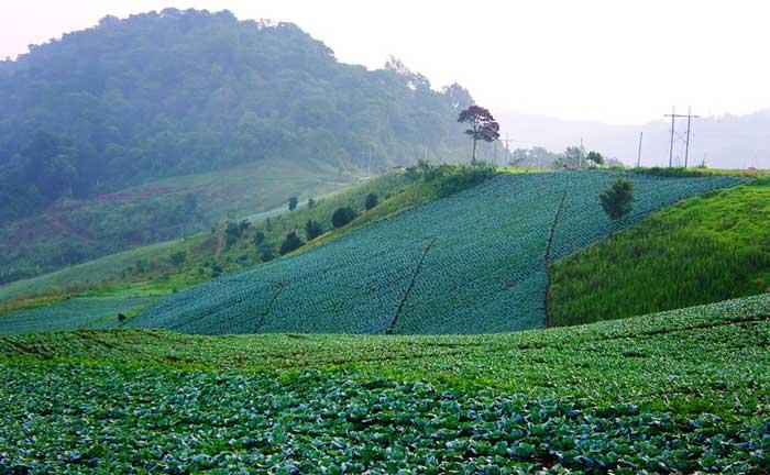 ภูทับเบิก ชมไร่กะหล่ำปลีใหญ่ที่สุดของไทย จังหวัดเพชรบูรณ์