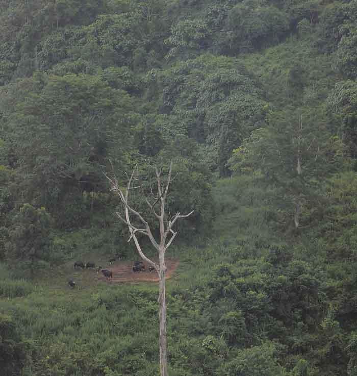 ดูกระทิงกลางป่าเขียว เขาแผงม้า นครราชสีมา